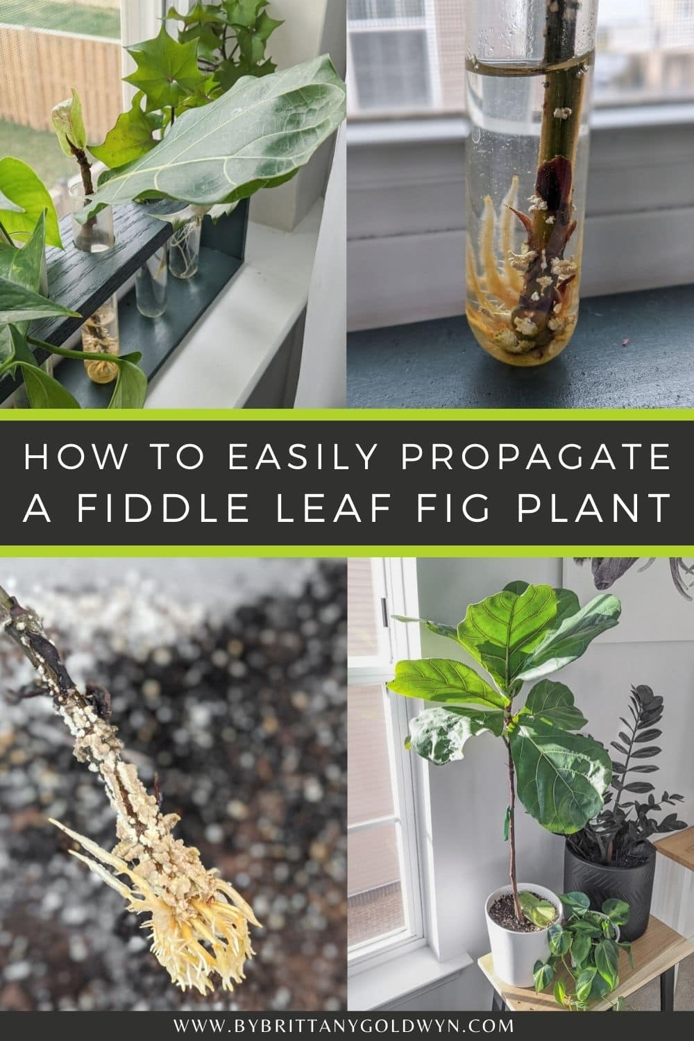 pinnable graphic with pictures of a fiddle leaf fig and text overlay about how to propagate fiddle leaf figs