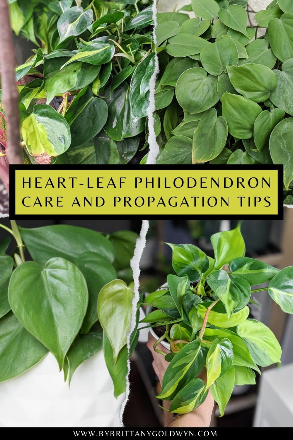 image collage of heart leaf philodendron care with text  How to care for the heart leaf philodendron plant