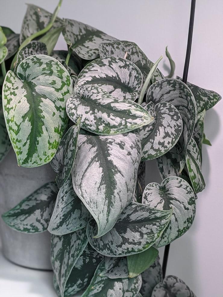 scindapsus pictus exotica plant