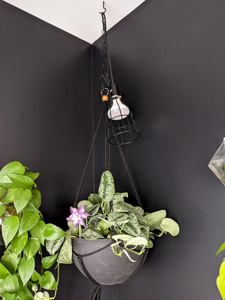 hanging grow light bulb with a scindapsus pictus