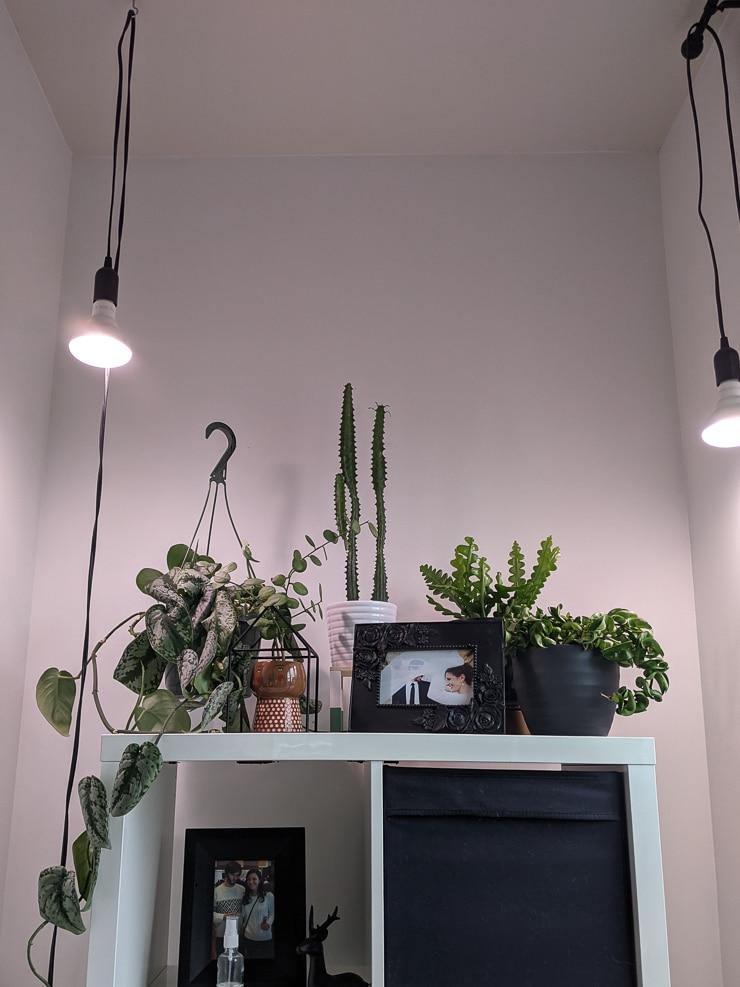 hanging grow light bulbs over plant shelving