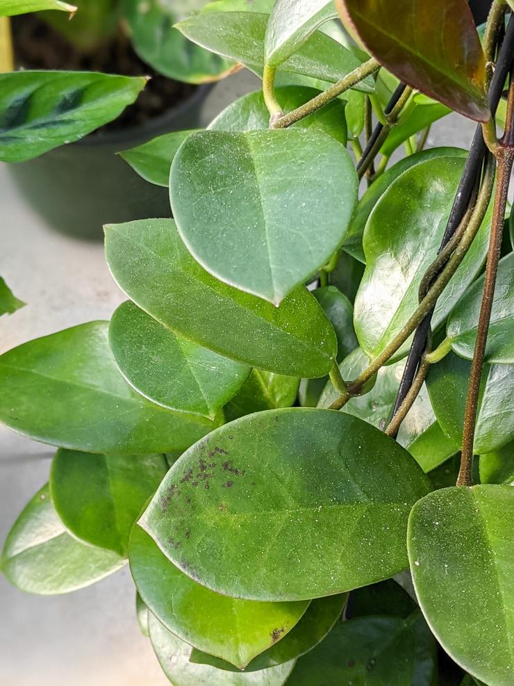 hoya australis leaves