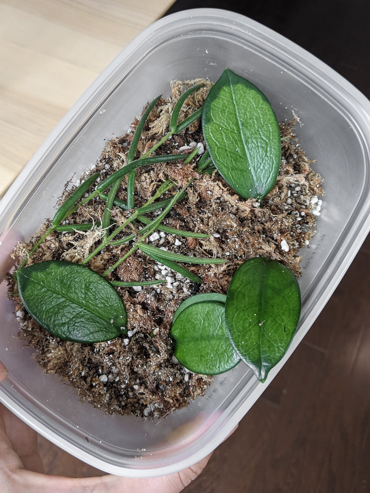hoya plants in a moss mixture for propagation