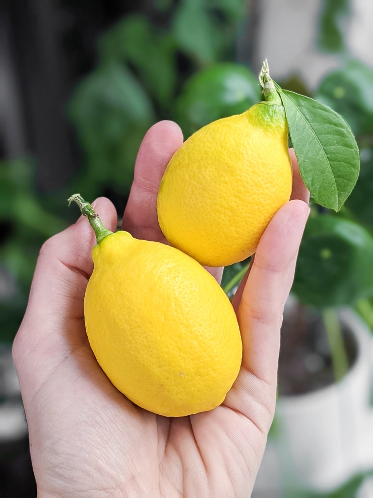 meyer lemons grown from a potted tree