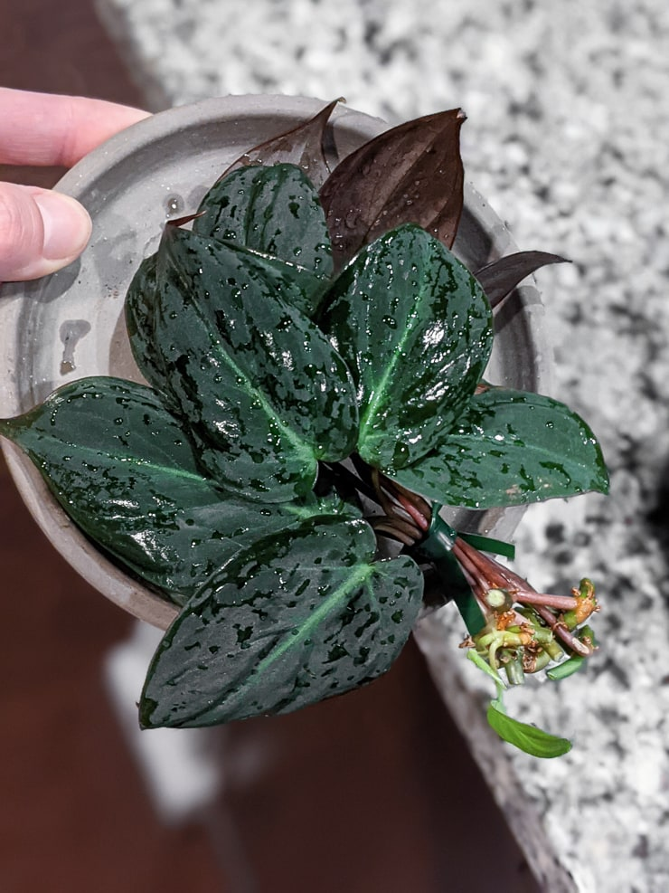 propagating velvet leaf philodendron in water