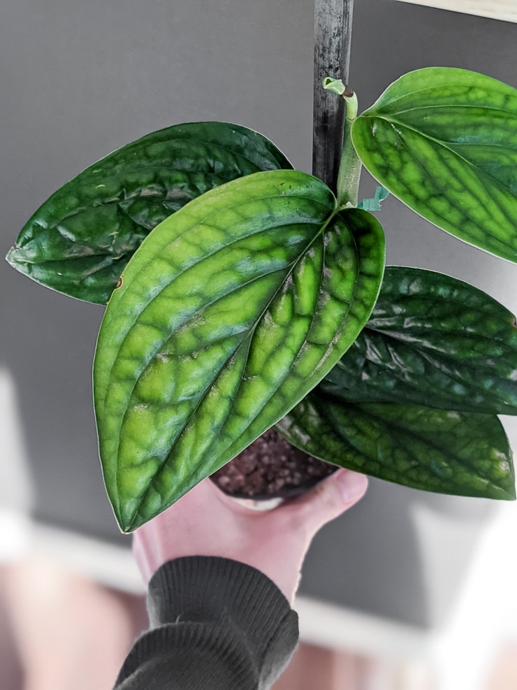 climbing monstera peru plant