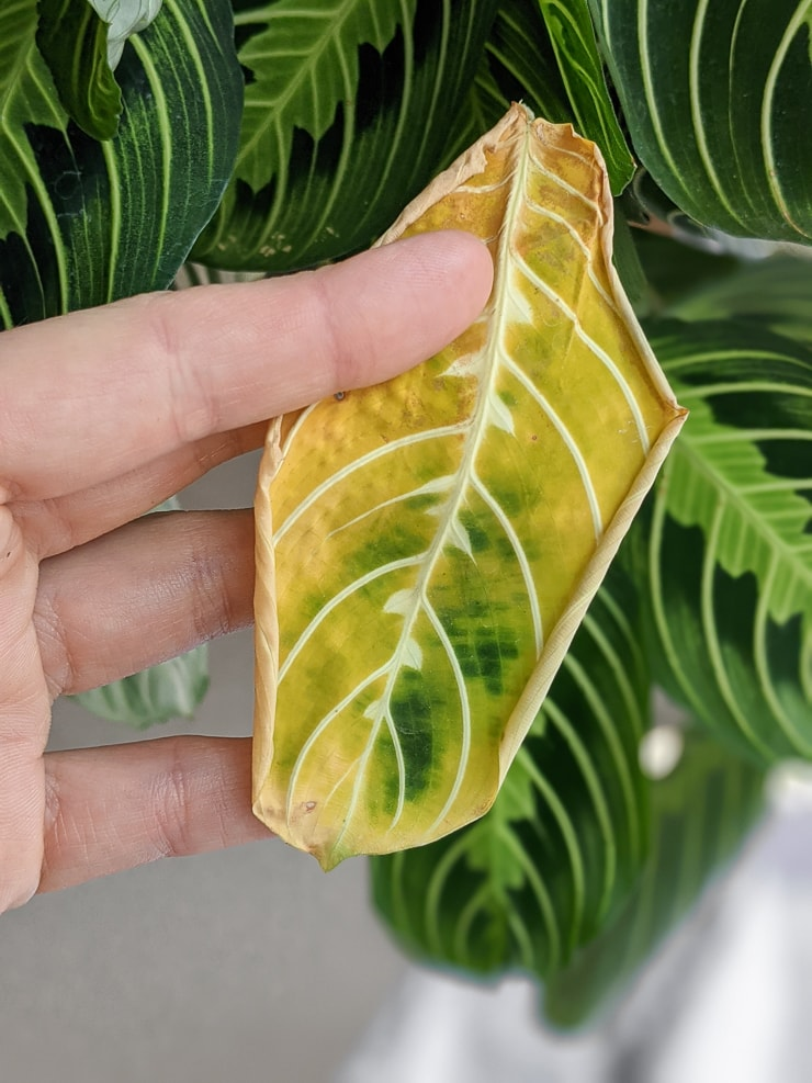 prayer plant leaf turning yellow and dying
