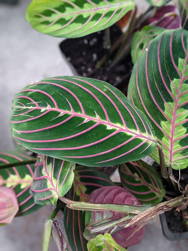 gorgeous prayer plant leaf