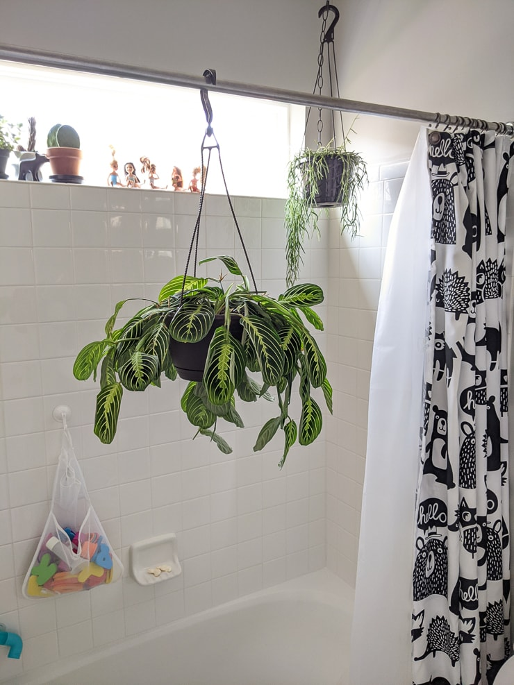 watering a maranta in the shower