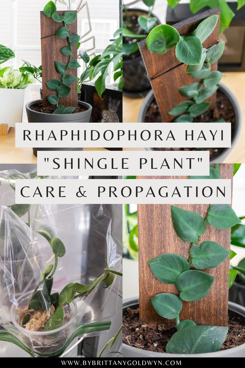 pinnable graphic with images of a Rhaphidophora Hayi plant and text overlay about how to care for and propagate it