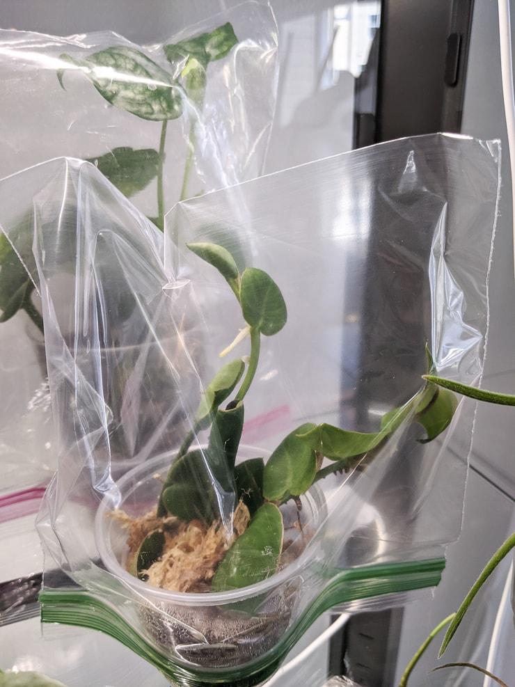 Rhaphidophora Hayi plant propagation