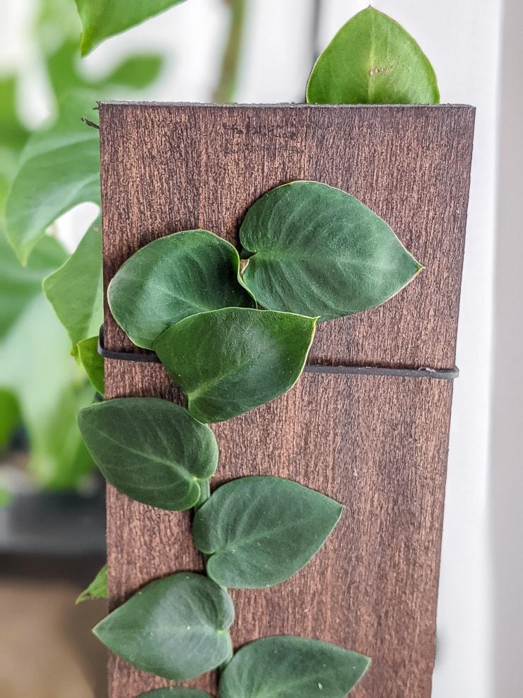 shingle plant climbing a wooden board