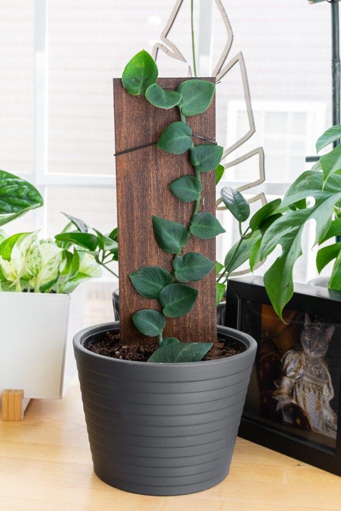 Rhaphidophora hayi plant
