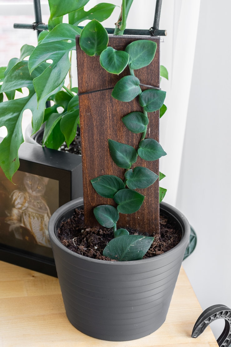 Rhaphidophora Hayi plant climbing a wooden board