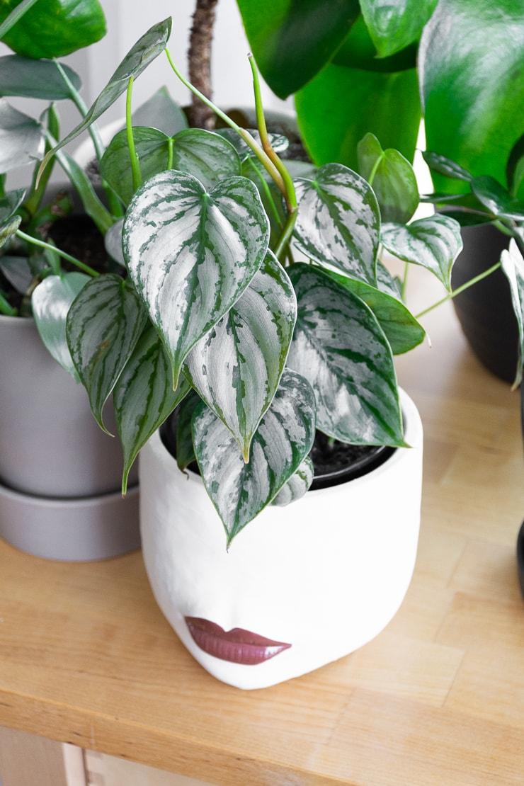 "Philodendron brandtianum ""silver leaf"" plant"