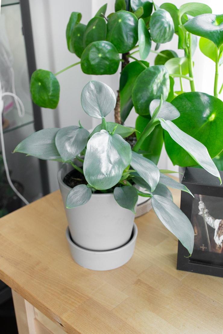 """Philodendron hastatum, aka """"silver sword philodendron"""""""
