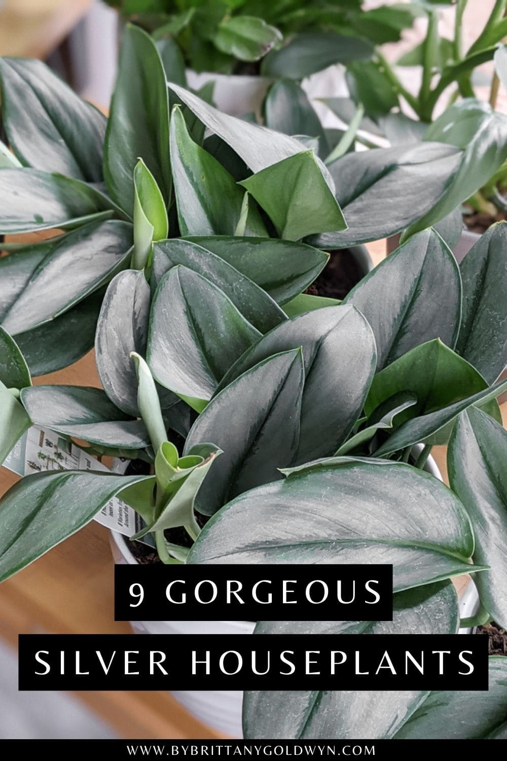 pinnable graphic with image of scindapsus treubii moonlight and the text 9 gorgeous silver houseplants
