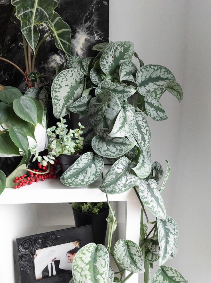 large gorgeous scindapsus pictus exotica plant