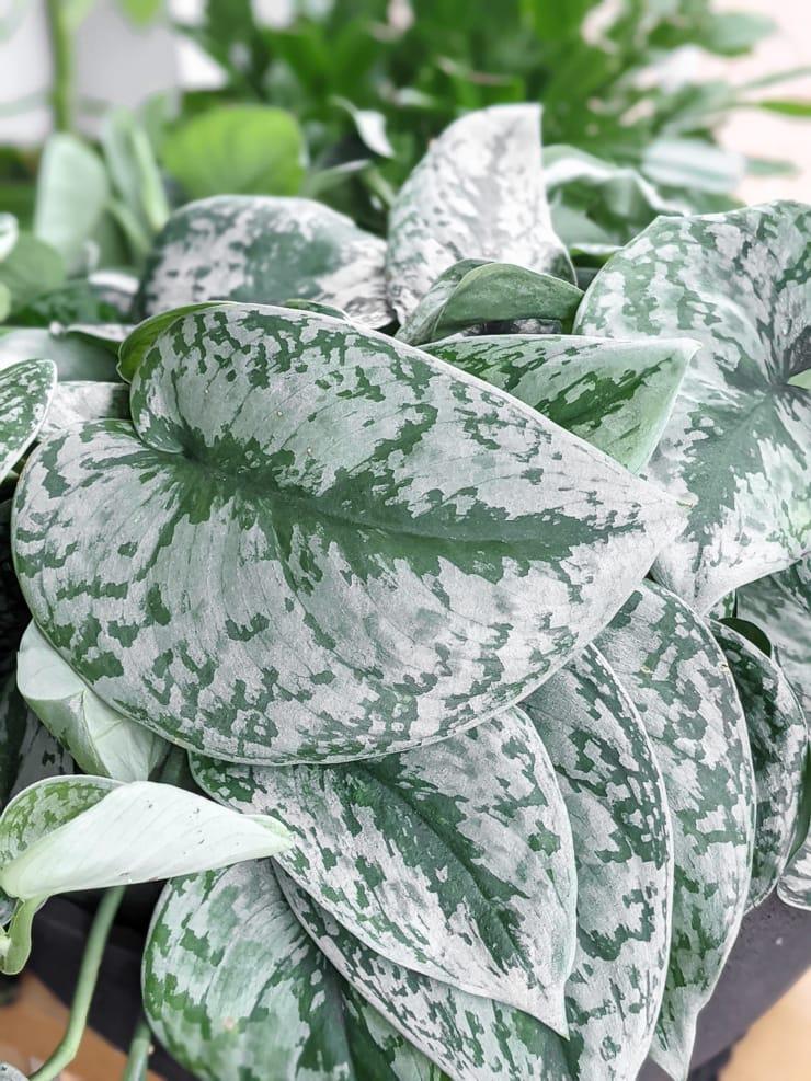 gorgeous scindapsus pictus exotica leaf