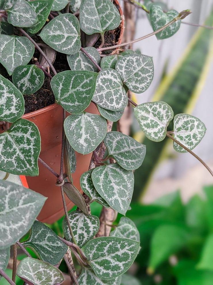 """Ceropegia woodii """"string of hearts"""" plant"""