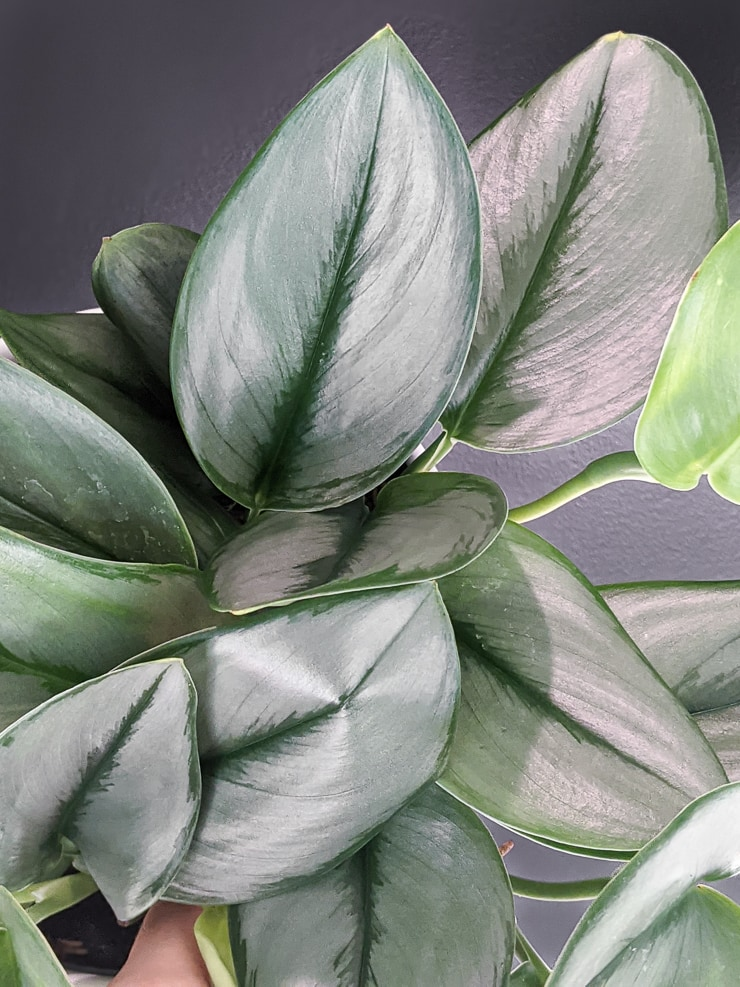 Scindapsus treubii moonlight sterling silver plant