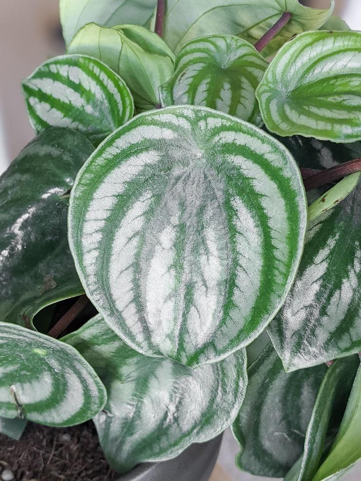 """Peperomia argyreia """"watermelon"""" leaf"""