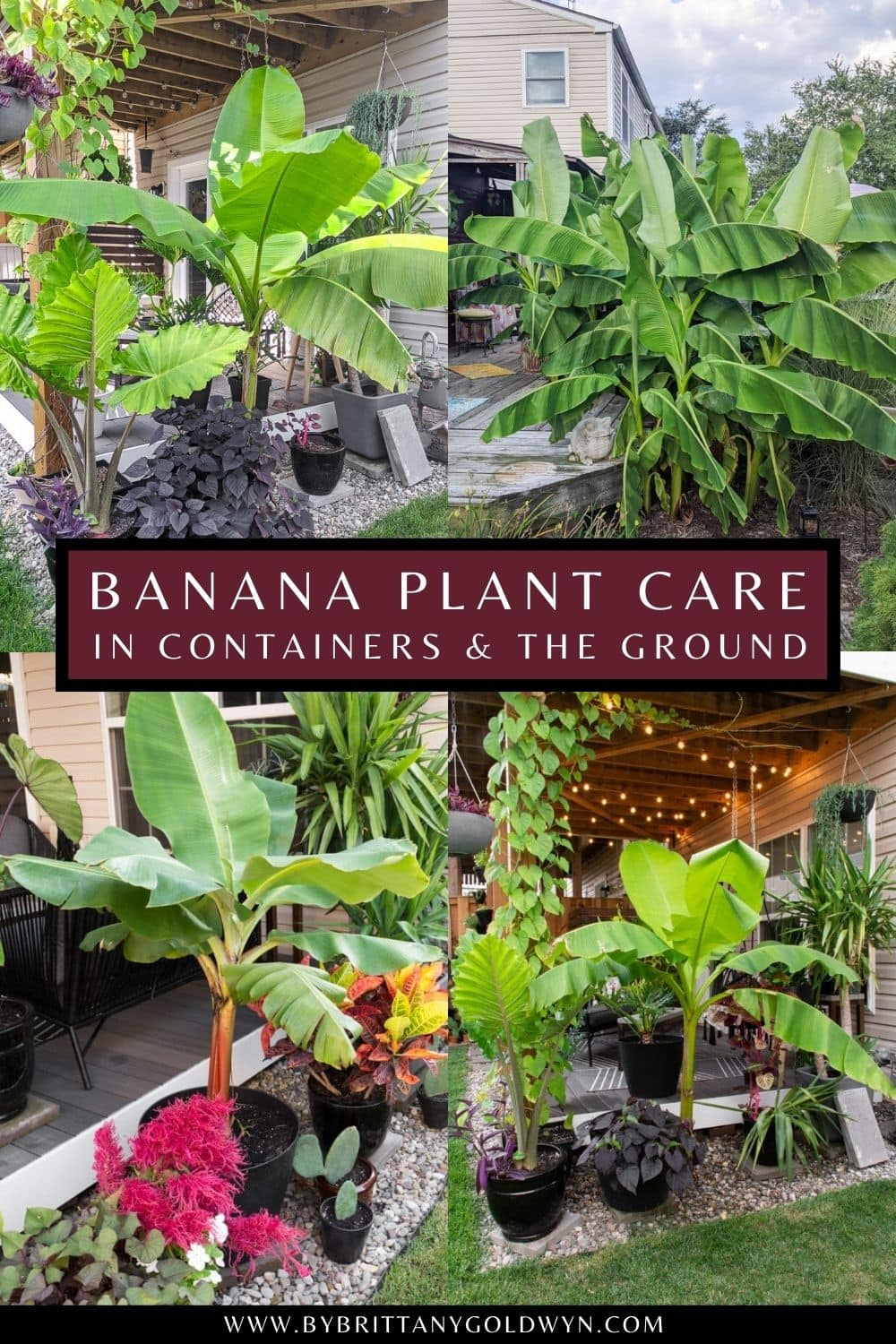 pinnable graphic with photos of banana plants and text overlay about how to care for them in containers and in the ground