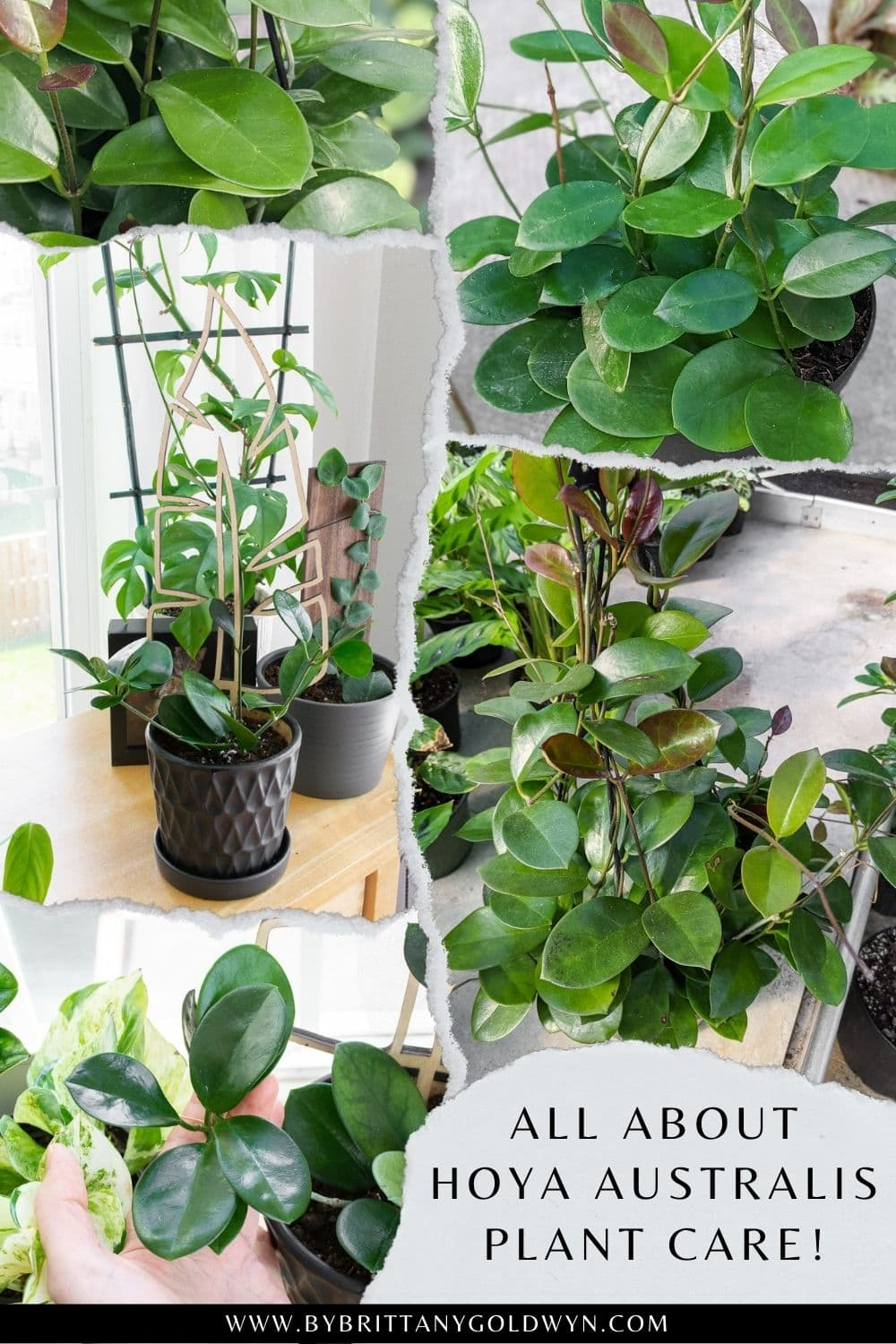 pinnable graphic with images of a hoya australis plant and text overlay about how to care for a hoya australis