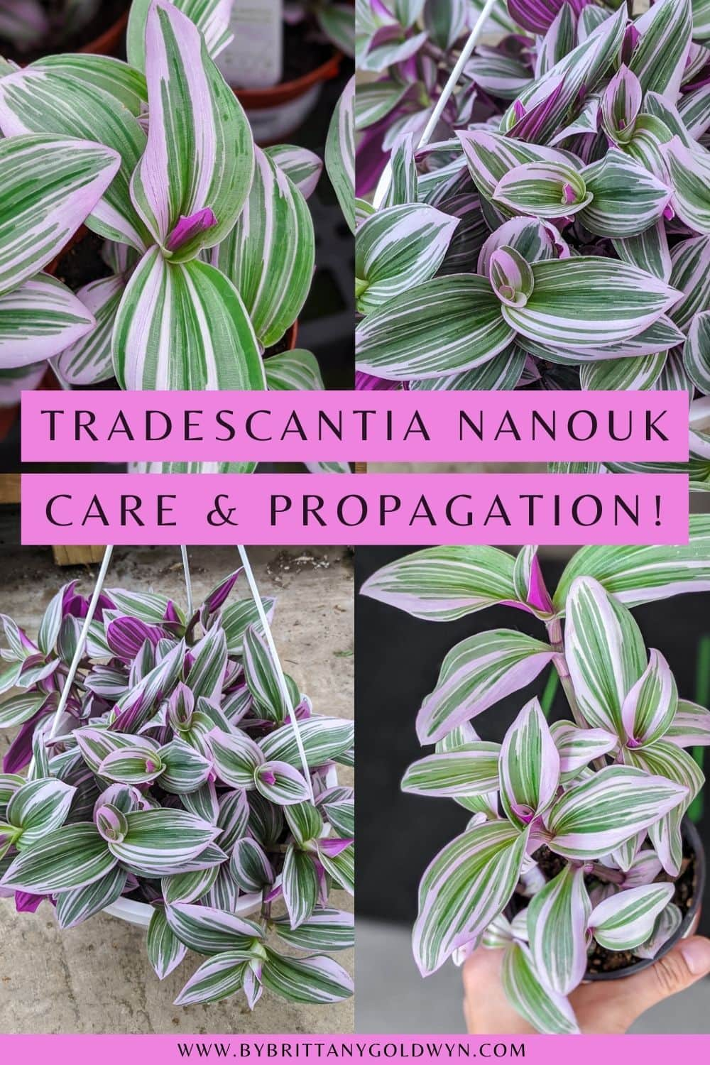 pinnable graphic with text overlay about tradescantia nanouk care and propagation