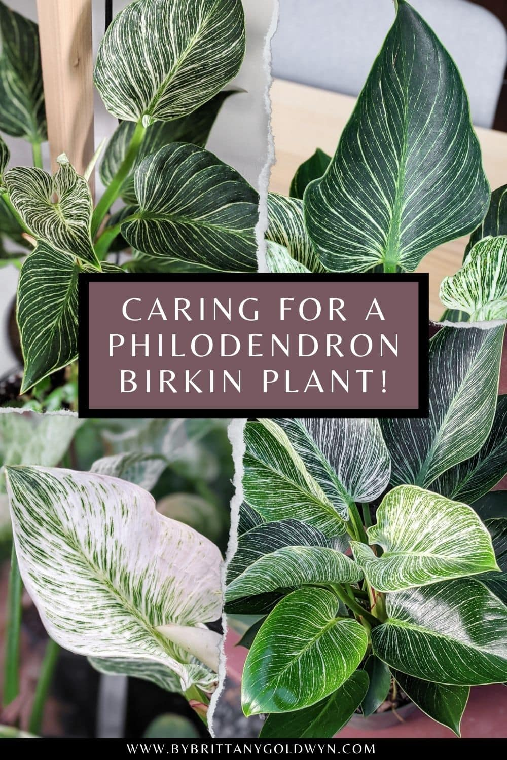 photos of philodendron birkin with text overlay about philodendron birkin care tips
