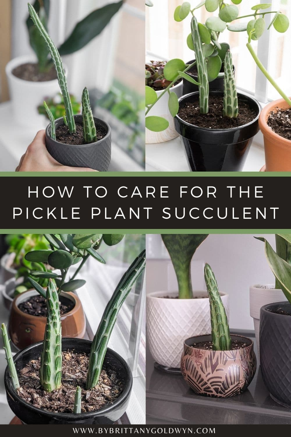 pinnable graphic with pictures of pickle plants and text overlay about how to care for a pickle plant succulent