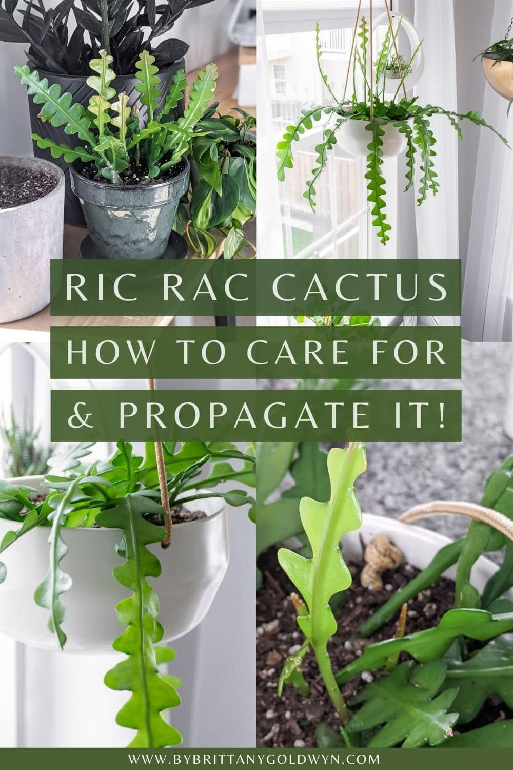 images of a ric rac cactus and text overlay saying how to care for a propagate a ric rac cactus