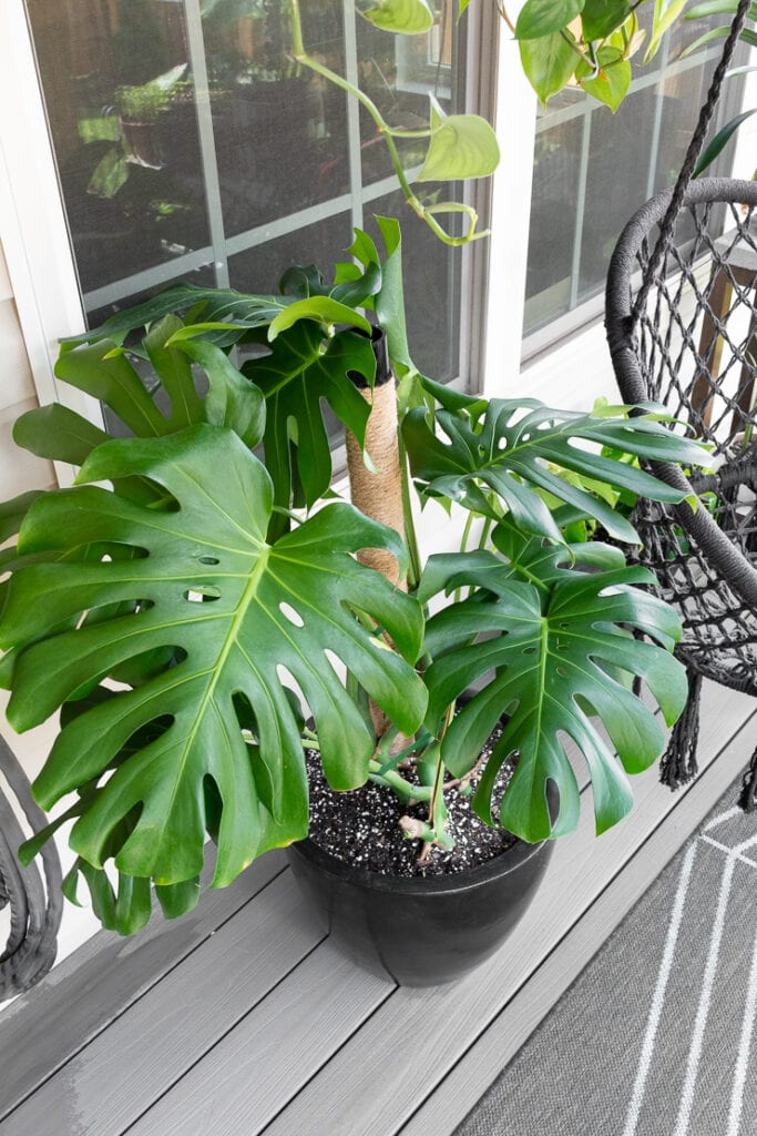 beautiful large monstera deliciosa plant on a patio with other plants