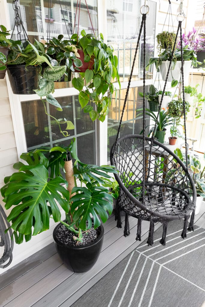 beautiful large monstera deliciosa plant on a patio with a swing and other plants
