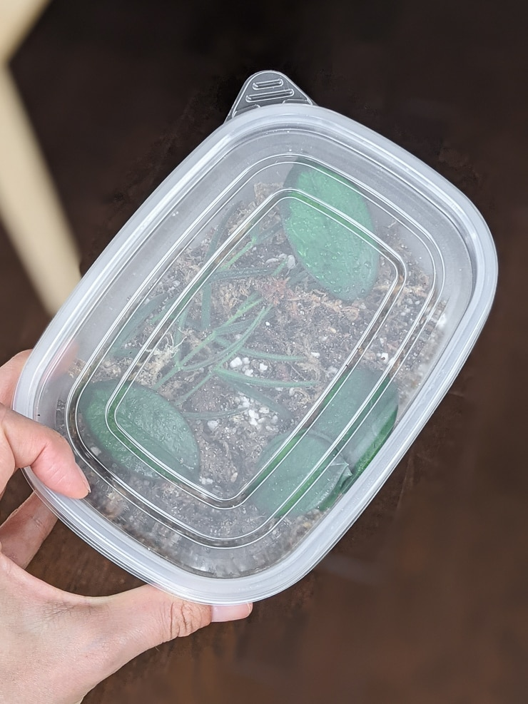 DIY moss propagation box with the lid on