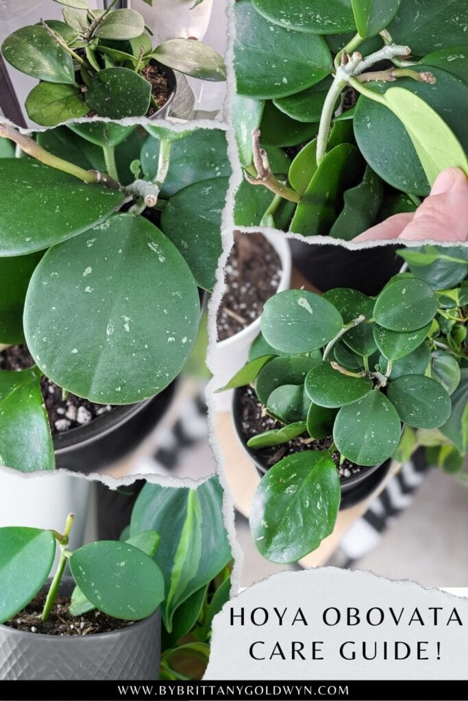 pinnable graphic about hoya obovata care and propagation tips including photos of my obovata and text overlay