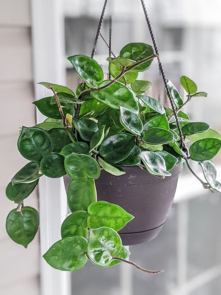 Hoya Carnosa Chelsea in a hanging pot