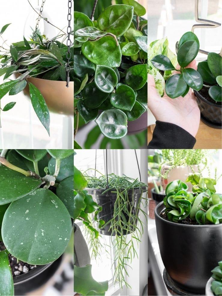 collage of hoya plants