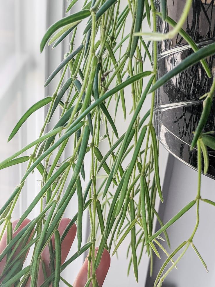 closeup shot of a hoya linearis plant