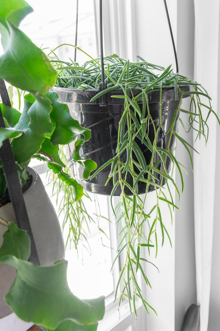 hanging hoya linearis plant