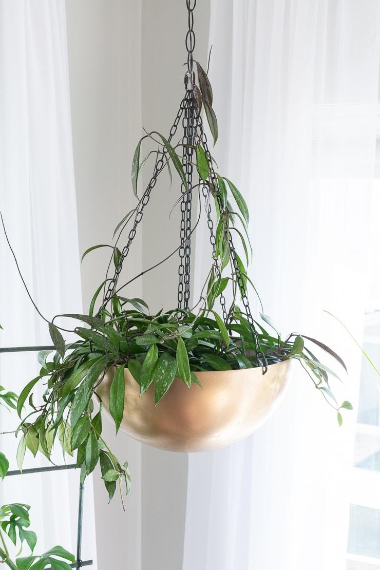 Hoya pubicalyx splash in a gold hanging planter