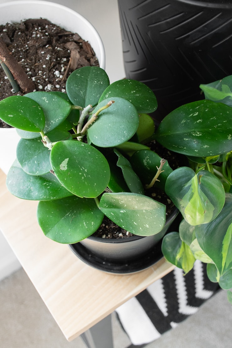 Hoya Obovata splash plant on a table in a black pot