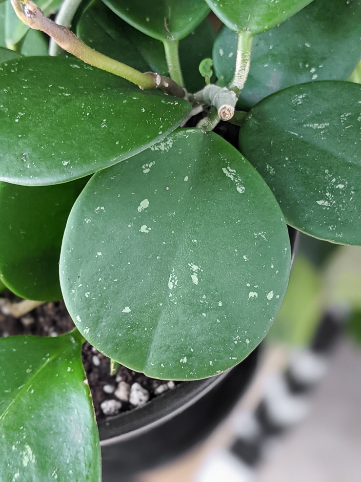 Hoya Obovata splash leaf