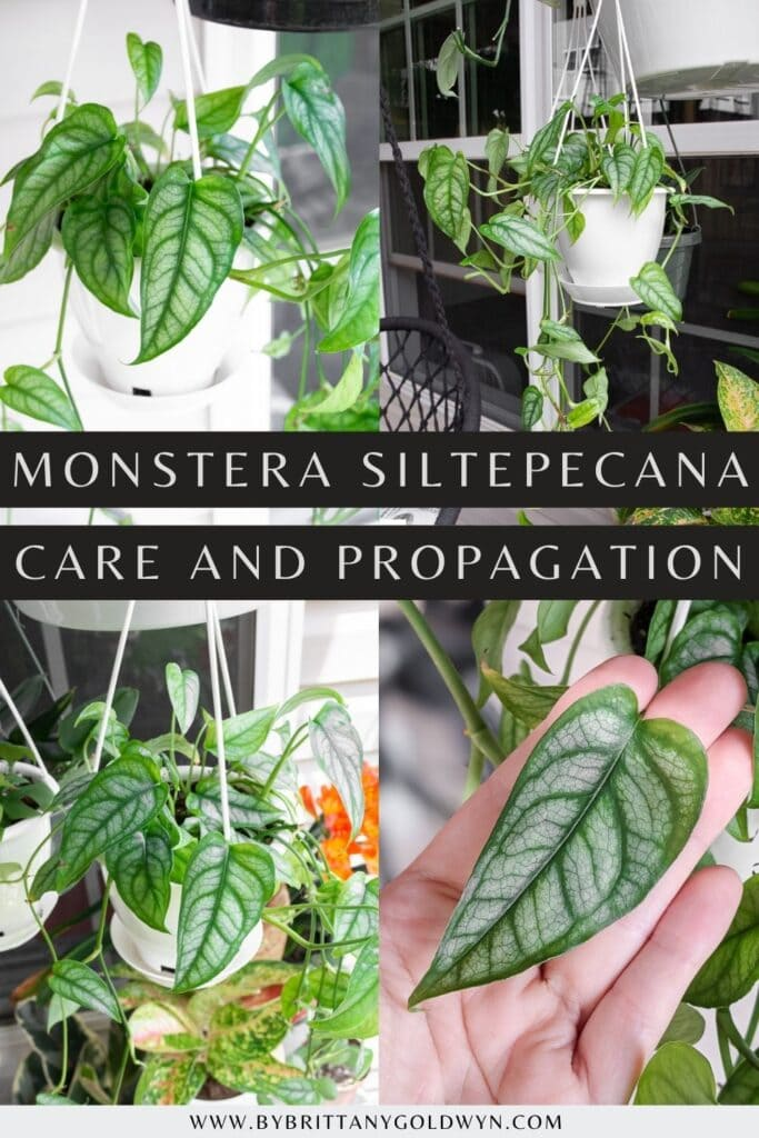 pinnable graphic about monstera siltepecana care and propagation including images of the plant and text overlay