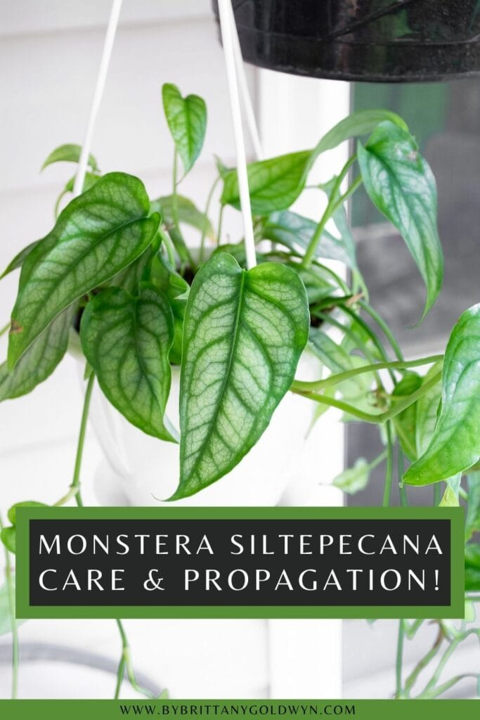 pinnable graphic about monstera siltepecana care and propagation including an image of the plant and text overlay