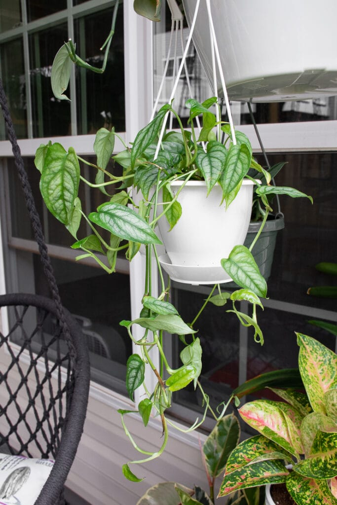 hanging monstera siltepecana plant outside