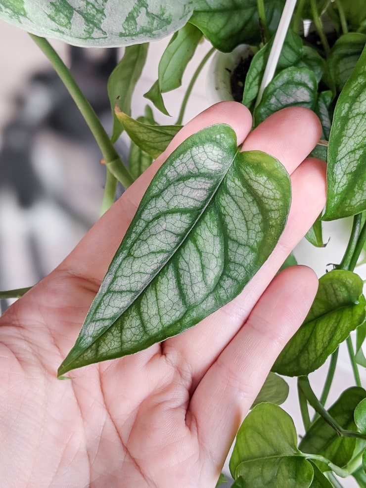 closeup of a gorgeous silver leaf monstera siltepecana leaf