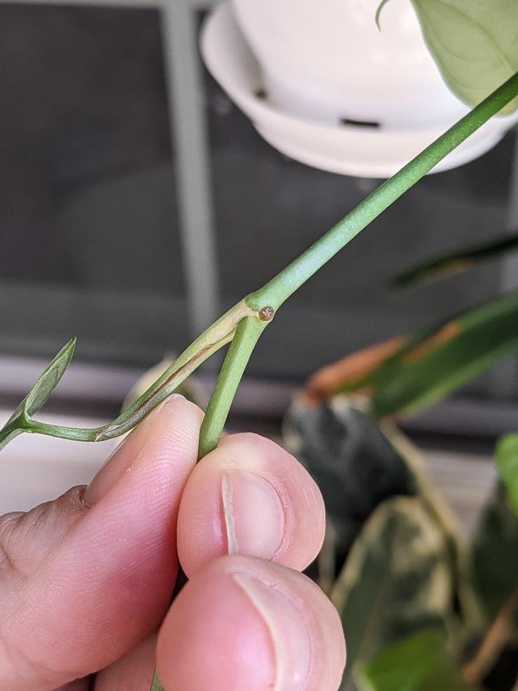 node on a monstera plant
