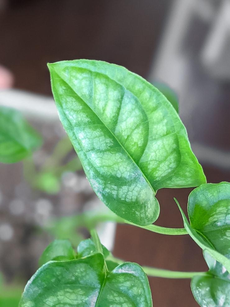 monstera siltepecana leaf