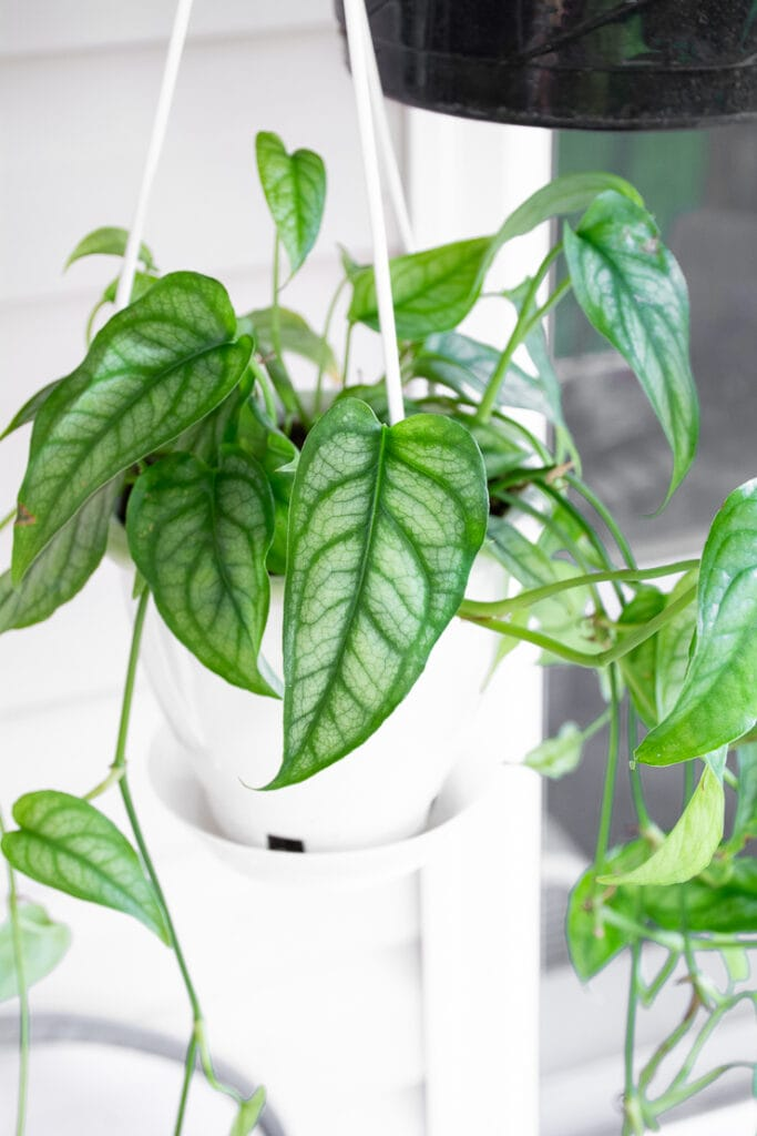 hanging silver leaf monstera siltepecana